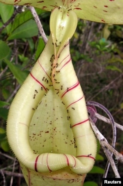 The trap of an insect-eating Nepenthes pitcher plant, swarming with nectar-collecting ants, is seen in this undated handout picture courtesy of Dr. Ulrike Bauer, University of Bristol, U.K.