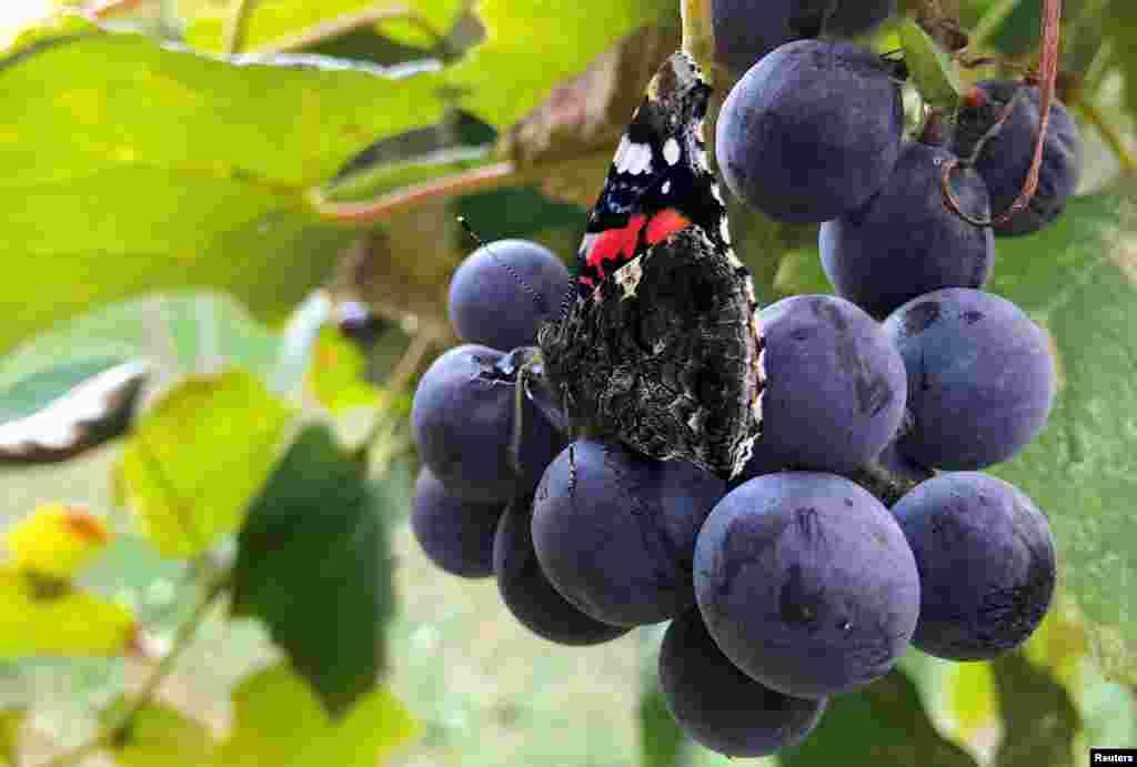 تصویری از یک پروانه بر روی خوشه انگور در یک تاکستان در ایتالیا