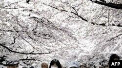 Công viên Ureno ở Tokyo với những hàng anh đào nở rộ