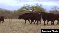 美国德州牧场的肉牛(USDA )