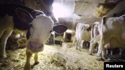 Sapi-sapi di sebuah peternakan di Le Mont, Swiss saat diambil susunya di pagi hari (foto: dok). Produksi susu dan pangan yang melimpah menyebabkan harga pangan dunia menurun tahun lalu.