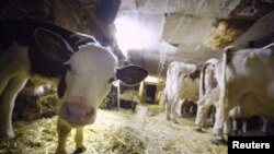 Una vaca lechera en una granja de Lausanne, Suiza.