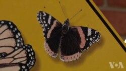 五年级学生帮助拯救君主蝶