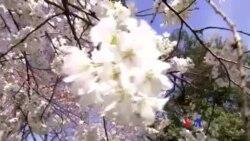 華盛頓櫻花含苞待客