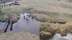 Robotski pastir testiran u australskoj divljini