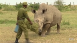 Once the World's 'Most Eligible Bachelor' and Only White Rhino Dies