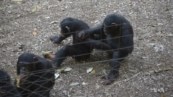 Sierra Leone's Sanctuary for Trafficked Chimpanzees
