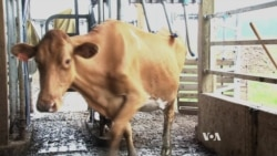 The Future of Dairy Farming: Robot Milkers