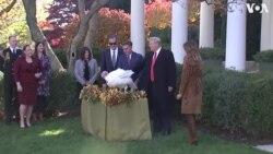 """Նախագահ Թրամփը Սպիտակ տանը """"ներում է շնորհել"""" Գոհաբանության տոնի խորհրդանիշ հնդկահավին"""