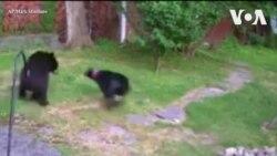 Gấu đen vào nhà dân kiếm ăn bị chó nhà hàng xóm đuổi