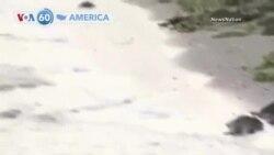 আমেরিকার প্রধান প্রধান খবর ভিওএ 60-তে স্বাগতঃ হাজার হাজার কচ্ছপ উদ্ধার