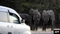 Des éléphants se préparent à traverser une route alors que des voitures passent à Kasane, dans le district de Chobe, dans le nord du Botswana, le 28 mai 2019.