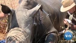 Zimbabwe: Practice of Dehorning Rhinos is Paying Off