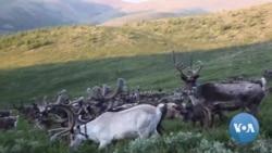 VOA英语视频: 驯鹿与传统:蒙古年轻人希望保住游牧文化