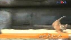 فلوریڈا: چڑیا گھر میں شیر کے بچوں کی نمائش