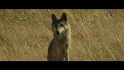 """""""Wolf Totem"""" filmi Monqolustan canavarı haqdadır"""