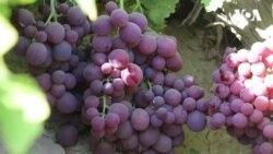 انگور هرات و مشکلات باغداران