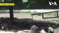 Des dizaines de dragons de Komodo nés dans un zoo indonésien