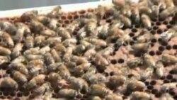 Arilar qani? Bee decline