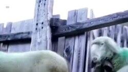 NO COMMENT - Ալպեր. Ոչխարները հատում են Ավստրիա-Իտալիա սահմանը