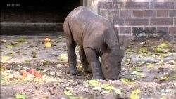 濒危动物黑犀牛幼崽在柏林动物园首次亮相