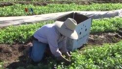 Minimnya Jumlah Pekerja Migran Musiman untuk Memetik Panen di California
