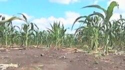 美国中西部大旱 玉米遭灾