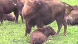 Bizoni obnavljaju preriju