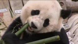 大熊猫宝宝今天离开首都华盛顿启程回中国