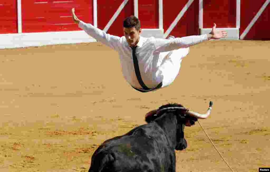 A competitor jumps over a cow during a Course landaise (cow race) in the Landes region in Aignan, France, April 17, 2017.