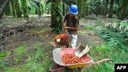 Seorang pekerja memanen kelapa sawit di sebuah perkebunan di Pangkalan Bun, Kalimantan Tengah. (Foto: Dok)
