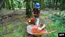 Pekerja perkebunan kelapa sawit di Kalimantan Tengah mengumpulkan hasil panen. (Photo: VOA)