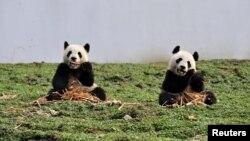 两只大熊猫在中国四川省的一个大熊猫保护和研究中心