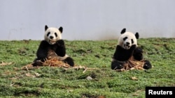 Two giant pandas eat bamboo at the new base of the China Conservation and Research Center for the Giant Panda in Wolong, Sichuan province, China, October 30, 2012