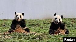 Hai chú gấu trúc đang ăn tre tại cơ sở Bảo tồn gấu trúc ở Wolong, tỉnh Tứ Xuyên, ngày 30/10/2012.
