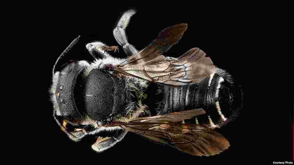 Megachile apicalis, ženka.