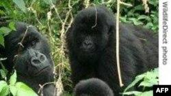 Khỉ đột ởTrung Phi đang bị đẩy tới bờ tuyệt chủng