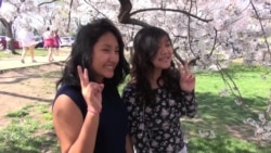 Visitors Experience Washington's Magnificent Cherry Blossoms