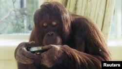 Investigaciones revelan que orangutanes también se entretienen con aplicaciones diseñadas para los niños.