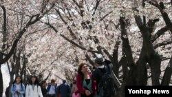 여의도 벚꽃 축제