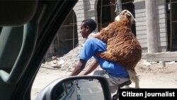 Un homme sur un scooter avec une chèvre, le 4 avril 2015.