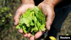 A farmer shows coca leaves collected in her garden, (File photo).