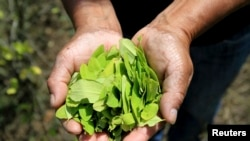 Un agricultor muestra hojas de coca cosechadas en su granja en Toribio, Cauca, Colombia.