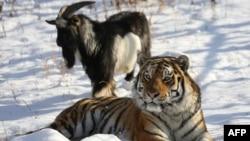 Kambing bernama Timur dan macan Amur tampak di sebuah kandang di Taman Safari Primorye, 30 November 2015. (Foto: AFP)