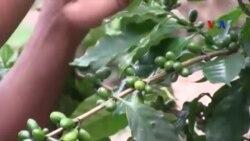 Cao nguyên Lào: Cà phê chất lượng cao thay cho cây thuốc phiện