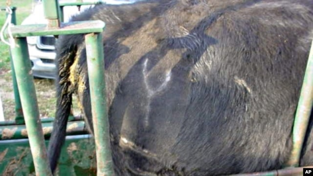 The white 'Y' with two lines under it shows that this cow came from rancher Gil Nitsch's herd.