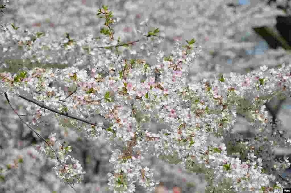 پھولوں سے بھرا چیری کا ایک درخت ۔۔۔