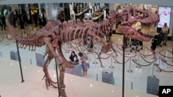 The 12 meter (39 foot) long dinosaur fossil of Tyrannosaurus rex, TAD (The American Dragon), discovered in Hardy County, South Dakota is displayed at a shopping mall in Hong Kong, Thursday, June 7, 2018. (AP Photo/Kin Cheung)