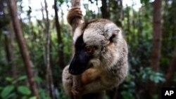 Seekor pukang di Taman Nasional Mantadia, Madagaskar. Pukang adalah salah satu spesies primata yang terancam punah. (AP/Jerome Delay)