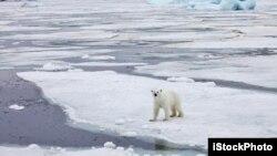 Video hình ảnh những con gấu bắc cực đi loạng choạng trên những tảng băng trôi lơ lửng trông thật kinh hoàng và xúc động.